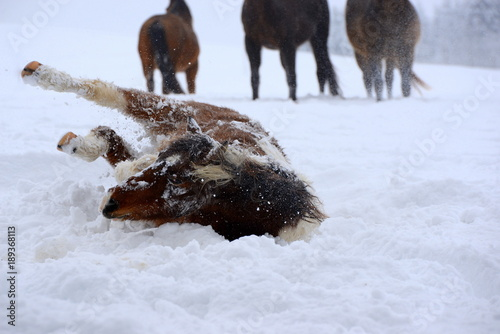 Fotografie, Obraz  fun in the snow, cute pony rolling in the snow