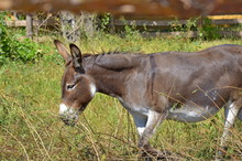 Side Portrait Of A Funny Smiling Gray Donkey In The Sun With Green Grass As Background