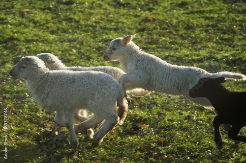 Photo Stands Sheep Schapen met lammeren in de wei in het voorjaar