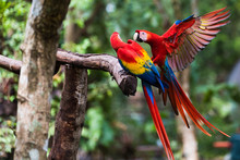 Two Scarlet Macaw Playing On Branch