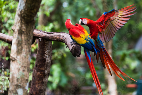Crédence de cuisine en verre imprimé Perroquets Two Scarlet Macaw Playing on Branch