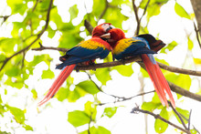 Scarlet Macaws On Branch