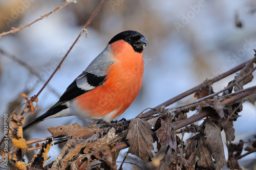 Fotomural Eurasian bullfinch in the rays of the rising sun (sitting on the branch with blue background)