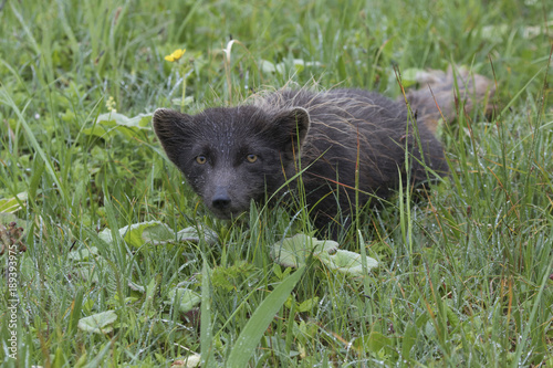 Commanders blue arctic fox Commander Islands that lurked in the grass during the Poster