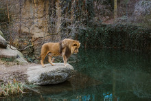 An Adult African Lion Male Sta...