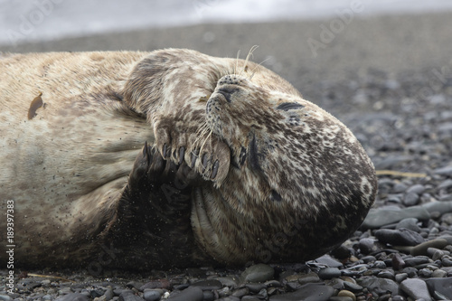 Harbor seal lying on a sandy beach which gnaws its front flipper Canvas Print