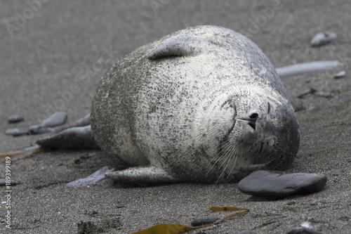 Harbor seal; lying on a sandy beach that sleeps Poster