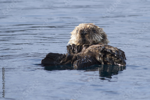 The puppy of the sea otter floating on the spring sunny afternoon near the islan Canvas Print