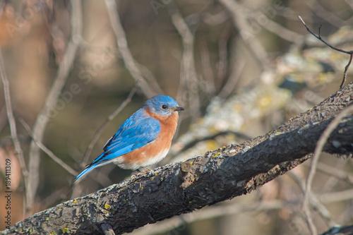 A portrait of a Missouri state bluebird on a tree branch with a bokeh effect Fototapet