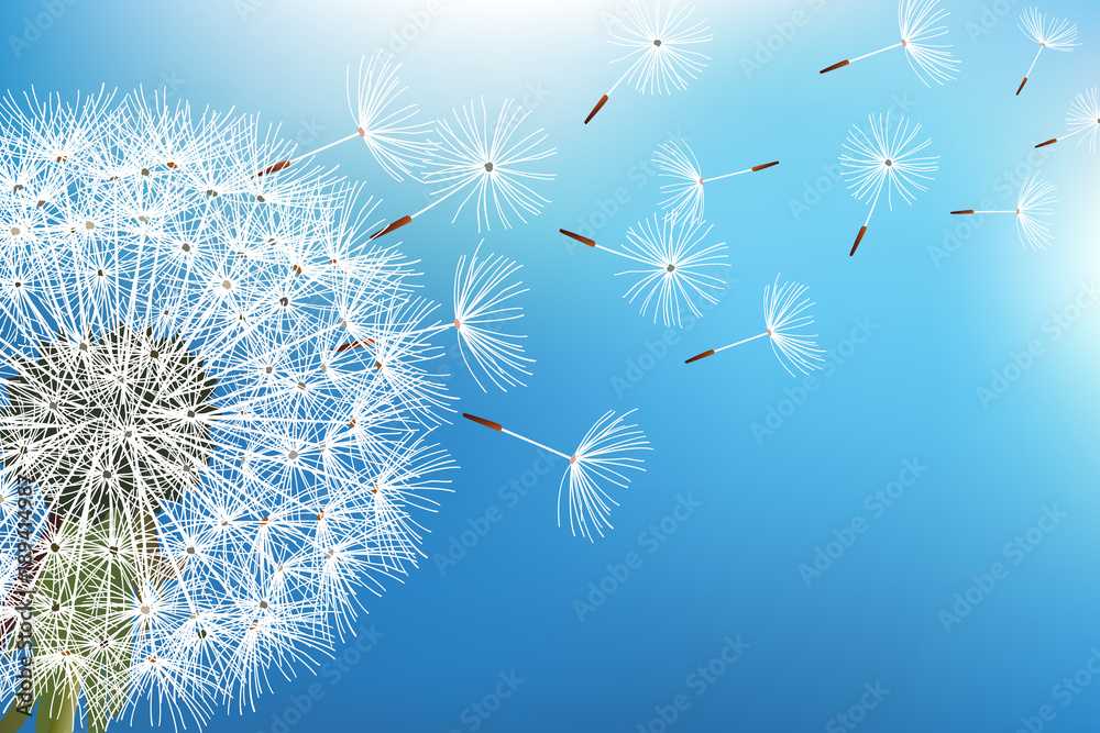 Fototapety, obrazy: Dandelion blowing seeds on blue background