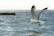 Seagull Flying On Lake Michigan, Wisconsin Shore