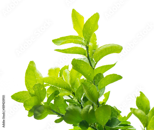 green bergamot leaf with drops of water on isolated white background Wallpaper Mural