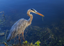 Blue Heron Everglades Florida