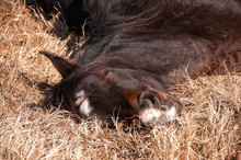 Horse Sound Asleep, Lying In D...