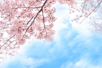 Fototapeta満開の桜 青空