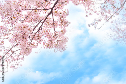 Foto op Plexiglas Kersen 満開の桜 青空