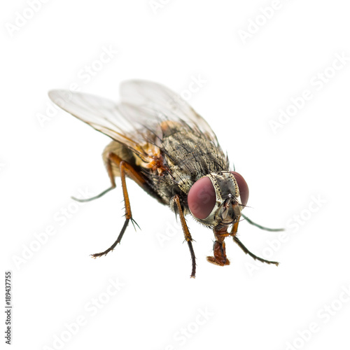 Ugly Diptera Fly Insect Isolated on White Background