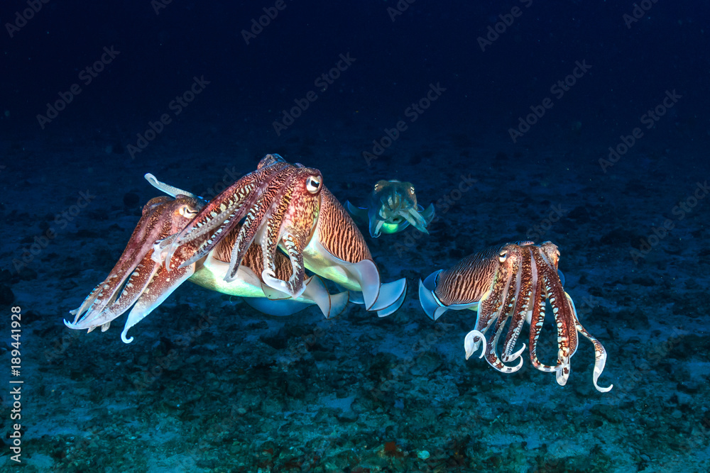 Fototapety, obrazy: Several mating Cuttlefish on a tropical coral reef at dawn