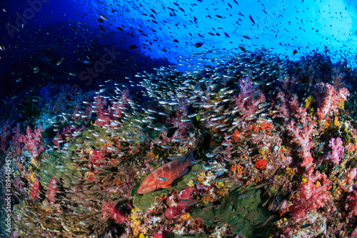 In de dag Koraalriffen Grouper and a variety of tropical fish on a healthy, colorful coral reef in Thailand