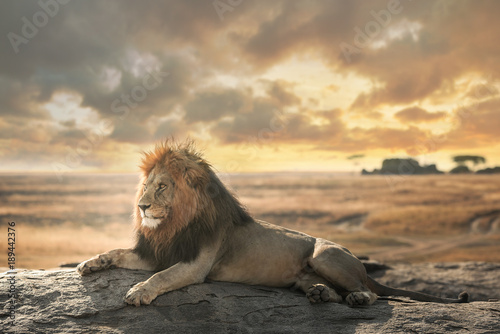 Staande foto Leeuw The big lion of Serengeti natural park stay on top view