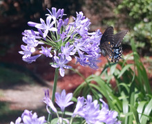 Butterfly - Red -spotted Purple Admiral – (Limenitis Arthenmis)   Very Large Red-spotted Purple Admiral Butterfly Feeds On Nectar From Flowers. The Beautiful Butterfly Shows Off Vibrant Colors Of Viol