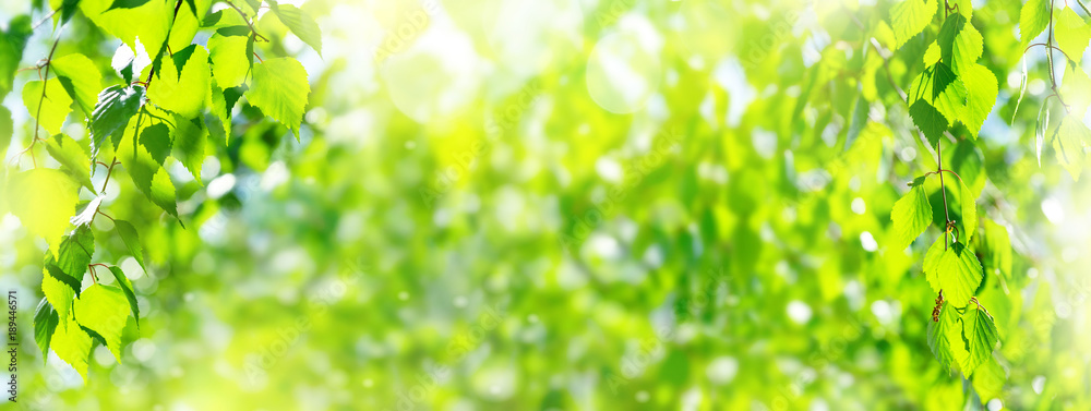 Fototapety, obrazy: Natural background. Spring background with bright fresh birch foliage in sunlight