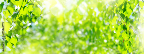 Poster Jaune Natural background. Spring background with bright fresh birch foliage in sunlight