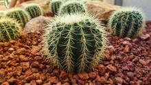 Golden Barrel Cactus, Echinocactus Grusonii Plant