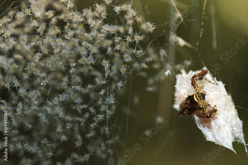 Image of Eriophora pustulosa spider and Many spider larvae. Insect, Animal.