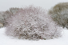 Trees And Bushes In The Snow I...