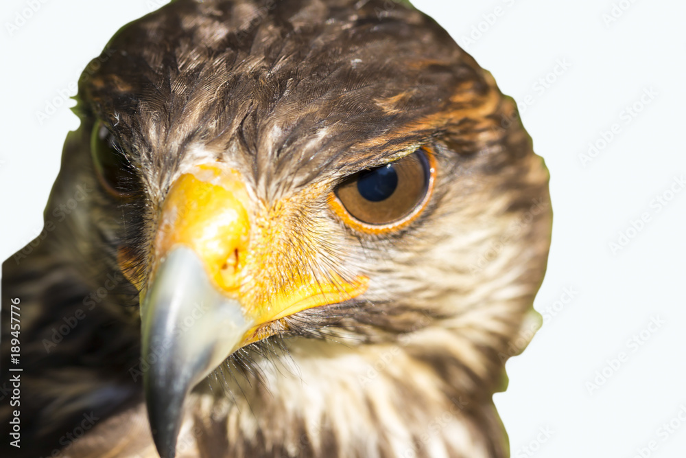 Portrait of Harris hawk isolated in white