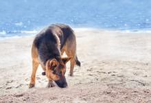 German Shepherd On The Beach I...