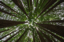 Californian Redwood Forest, Gr...