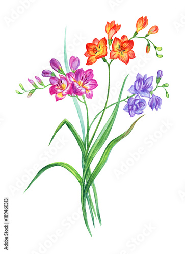 3b97b6268 Bouquet of multicolored freesia, watercolor drawing on white background,  isolated with clipping path.