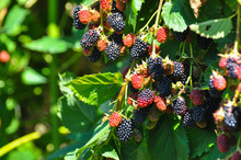Group Of Ripe And Ripening Blackberries In Orchard. Organic Blackberry Is A Great Antioxidant