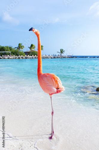 Foto op Aluminium Flamingo Pink flamingos walking on the beach, Aruba island, Caribbean sea