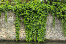 The Green Ivy On A Stone Wall