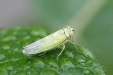 Green Leafhopper, Cicadella Sp...