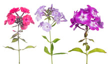 Three Phlox Flowers Set Isolated On White