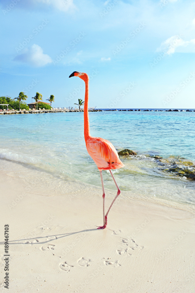 Pink flamingo standing on the beach, Aruba island