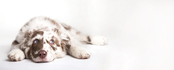 FototapetaThe studio portrait of the puppy dog Australian Shepherd lying on the white background, looking at the copy space
