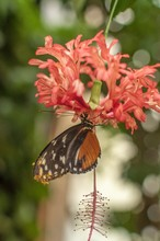 A Tiger Long Wing Butterfly Drinking Nectar Upside Down From A Flower
