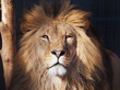 Lion serious portrait african close-up
