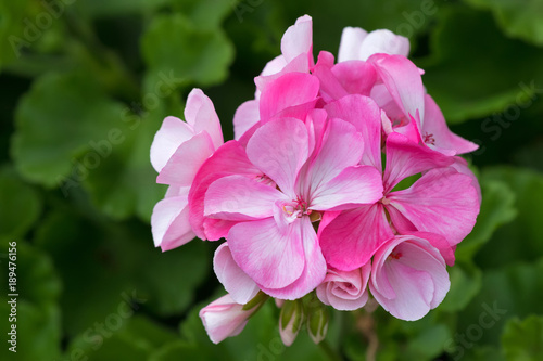 Closeup Of Pink Geranium Flowers Blooming With Blurred Green