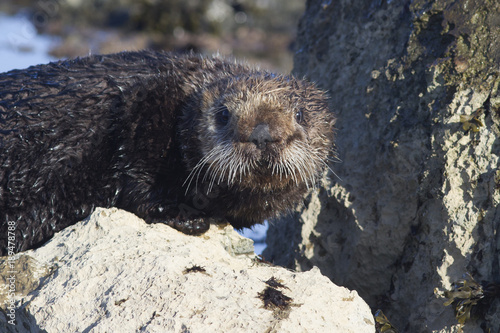 A Sea otter standing on a rock at low tide on a winter sunny day Poster