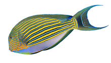 Striped Surgeonfish Tropical R...