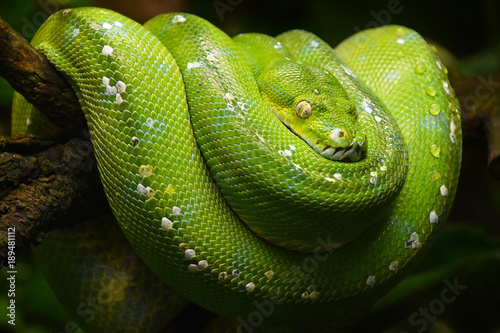 Green tree python profile portrait close up