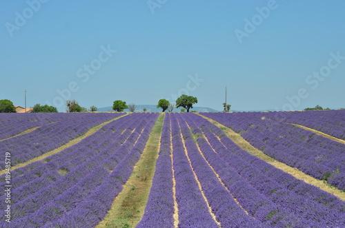 Fototapety, obrazy: lavander field