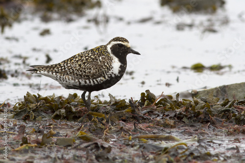 Pacific golden plover standing on the shallows at the seashore during the spring Canvas Print