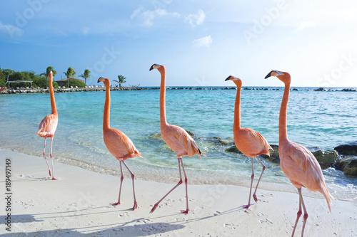 Valokuva  Pink flamingo, Aruba island